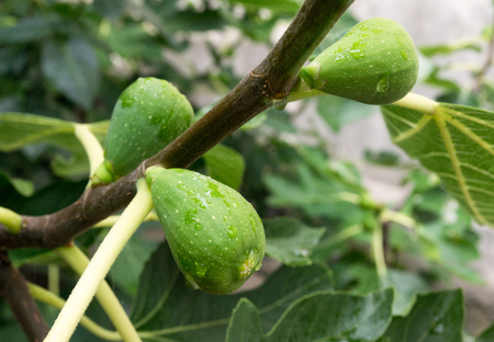 unripe figs in the garden close up. Stock Photo