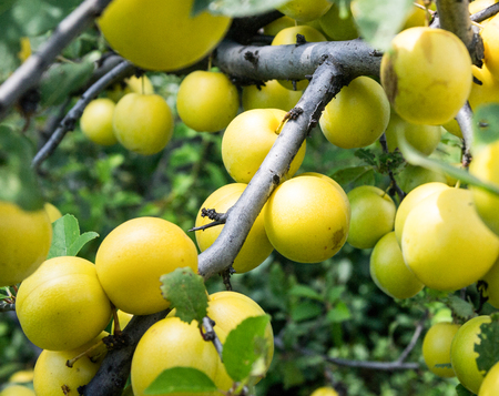 alycha: branch with yellow cherry plum close up.