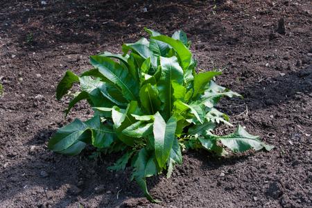bush of horseradish in the garden. Armoracia rusticana