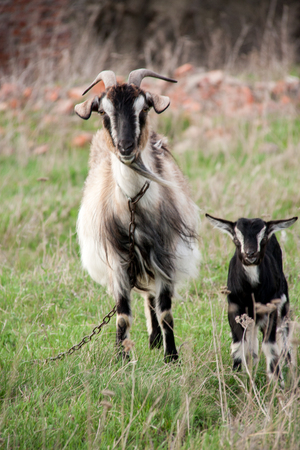 baby goat: Goat with a kid is grazing on green grass