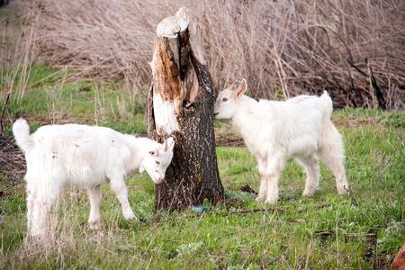 Two small goats graze near a tree Stock Photo