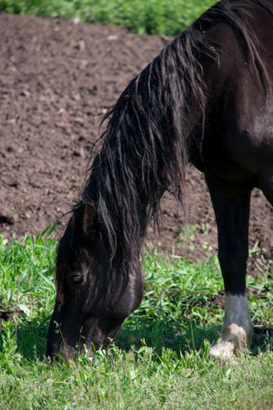 steed: Black horse grazing on a meadow in the village