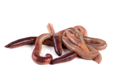 anguine: bunch of earthworms isolated on white background macro