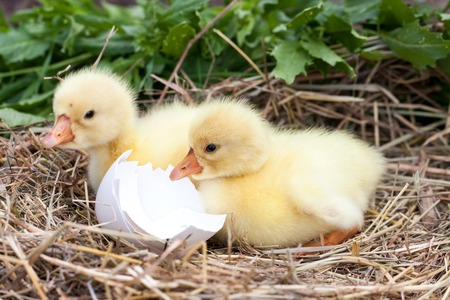 two little domestic gosling with broken eggshell in straw nest Stock Photo