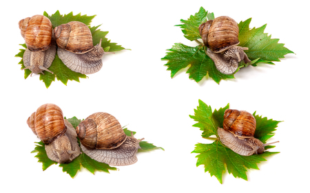 grape snail: snails crawling on the grape leaves on a white background close-up macro. Set or collection.