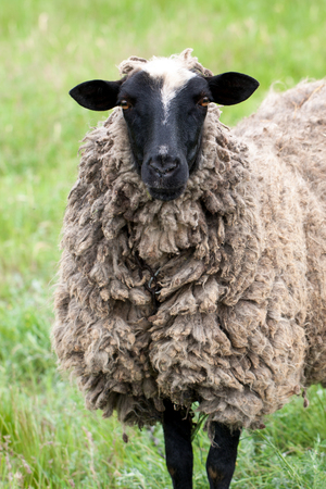 one sheep graze on the green grass. Close-up