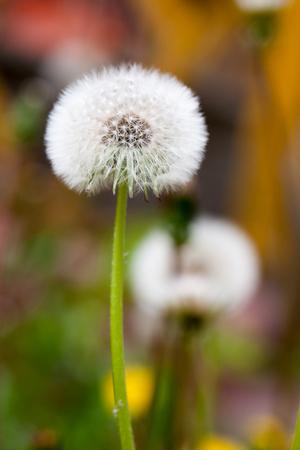 two Dandelion seeds outside close up macro