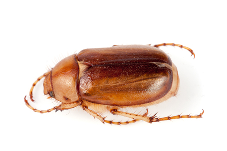 luster: May beetle or Cockchafer or Melolontha isolated on white background