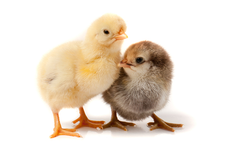 two little chicken isolated on white background. Stock Photo