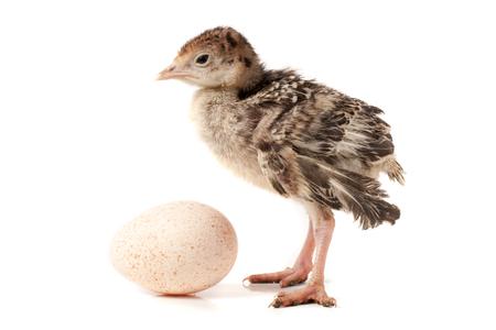 Kip kalkoen met ei geïsoleerd op een witte achtergrond. Stockfoto