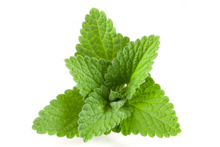 Melissa leaf or lemon balm isolated on white background