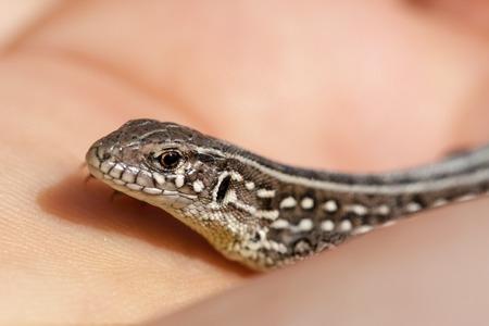 textured wall: herpetologist hand holding juvenile balkan wall lizard. Podarcis tauricus