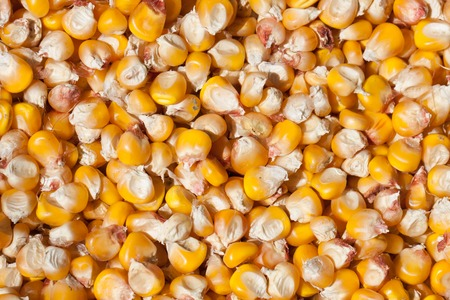 Dried corn as a background. Top view Stock Photo
