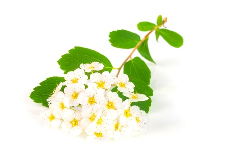 Flowers of Spirea aguta or Brides wreath isolated on white background close-up Imagens