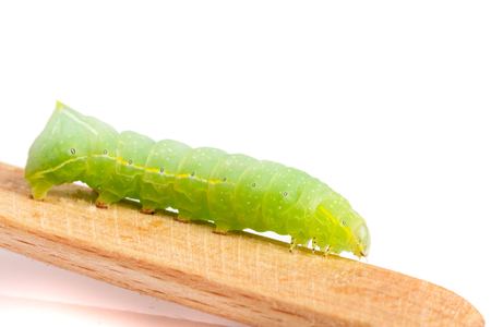 Green caterpillar on stick isolated on white background.
