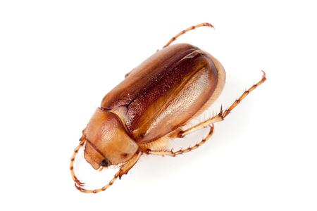Cockchafer or Melolontha isolated on white background