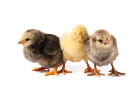 three little chicken isolated on white background Standard-Bild