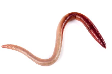 een regenwormen geïsoleerd op een witte achtergrond