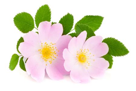 白い背景で隔離の葉とローズヒップの花 写真素材