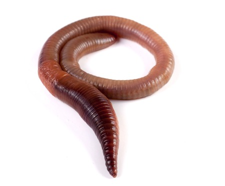 one earthworms isolated on white background