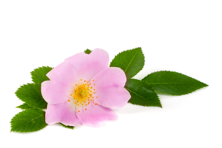 roze: Rosehip flower with leaf isolated on white background.