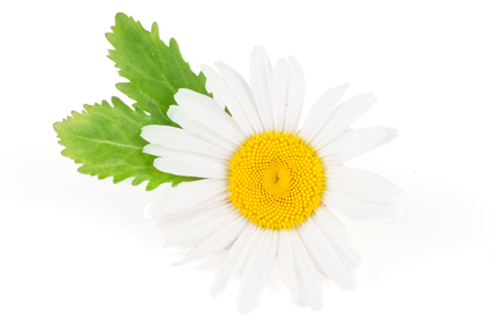 chamomilla: one chamomile or daisies with leaves isolated on white background Stock Photo
