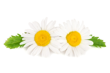 marguerite: two chamomile or daisies with leaves isolated on white background