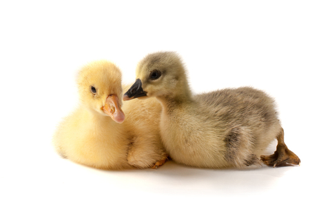 two little gosling isolated on white background