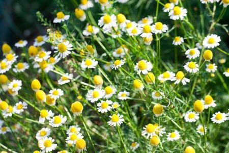 여름에는 초원에 피는 카모마일 꽃. 배경 스톡 콘텐츠