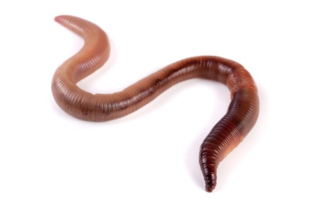 one earthworms isolated on white background close-up. Stock Photo