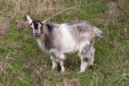 baby goat: One little kid goat is grazing on the grass. Stock Photo