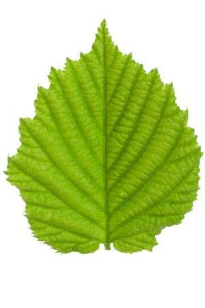 alder tree: The leaf of hazelnut isolated on a white background