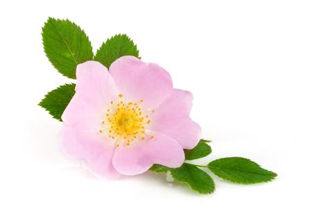 Hagebuttenblume mit Blatt isoliert auf weißem Hintergrund