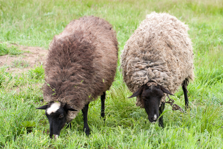Two sheep graze on the green grass. Close-up