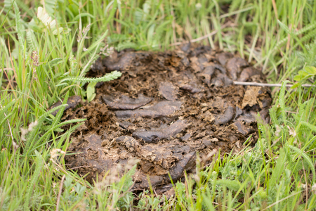 fresh cow shit on the green grass Stock Photo