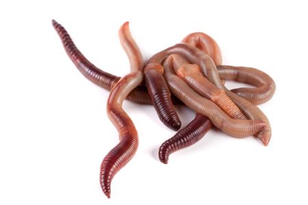bunch of earthworms isolated on white background macro. Stock Photo