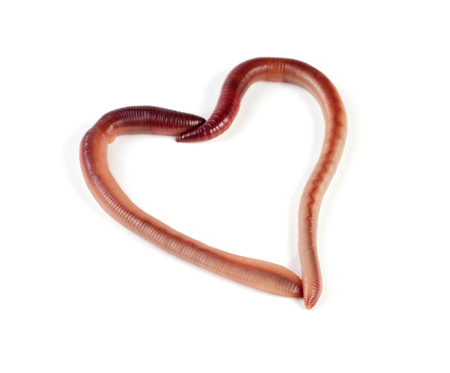 Two earthworms in the shape of heart isolated on white background.
