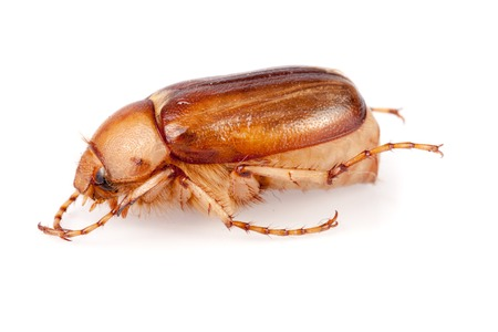 luster: May beetle or Cockchafer or Melolontha isolated on white background.