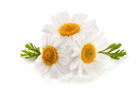marguerite: Three chamomile or daisies with leaves isolated on white background Stock Photo