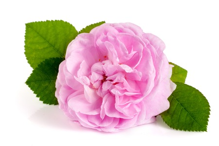 roze: wild rose blooming flower isolated on a white background