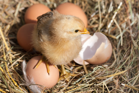 baby chicken with broken eggshell and eggs in the straw nest Stock Photo