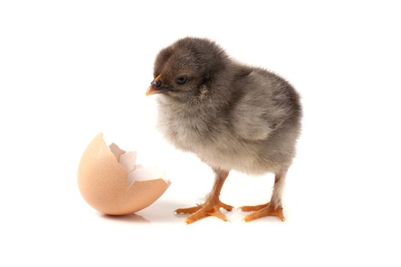 Cute little chicken with eggshell isolated on white background