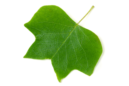 A Tulip poplar leaf Liriodendron tulipifera isolated on a white background.