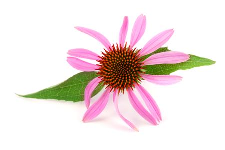 echinacea: Coneflower or Echinacea purpurea with leaf isolated on white background.