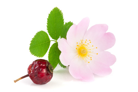 roze: Rosehip flower and berry with leaf isolated on white background,