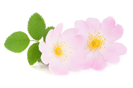 roze: Rosehip flowers with leaf isolated on white background.