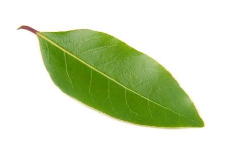 Fresh laurel leaf isolated on white background. Stock Photo