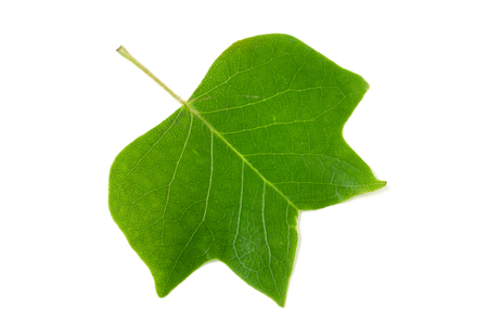 A Tulip poplar leaf or Liriodendron tulipifera isolated on a white background