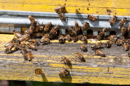 The bees at front hive entrance close-up. Selective focus Фото со стока