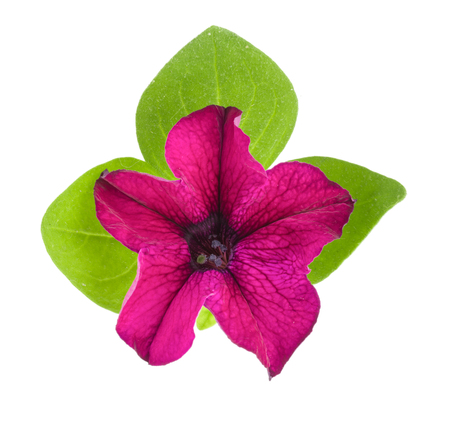 hybrida: pink flower of petunia with green leaves isolated on white background Stock Photo